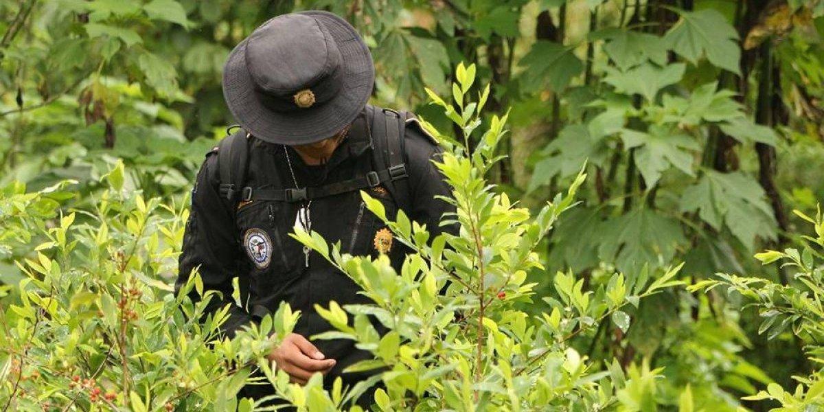 """PNC localiza plantación de hojas de coca, """"nunca antes vista en Guatemala"""""""