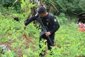plantación de hoja de coca en Cobán
