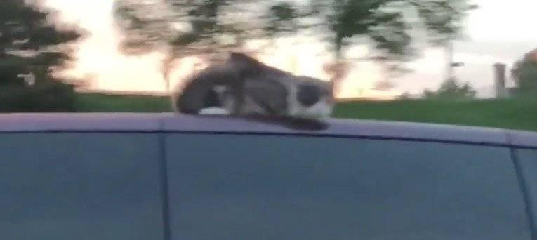 gato autopsita