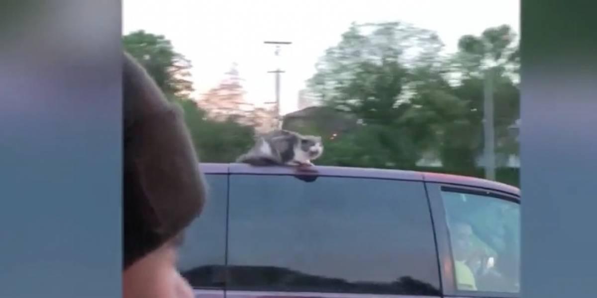 Nunca habíamos visto un video como este: familia dejó al gato en el techo del auto y salió por una autopista a 100 kilómetros por hora