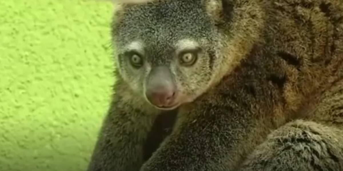 Filhote raro de ailurops nasce em zoológico da Polônia