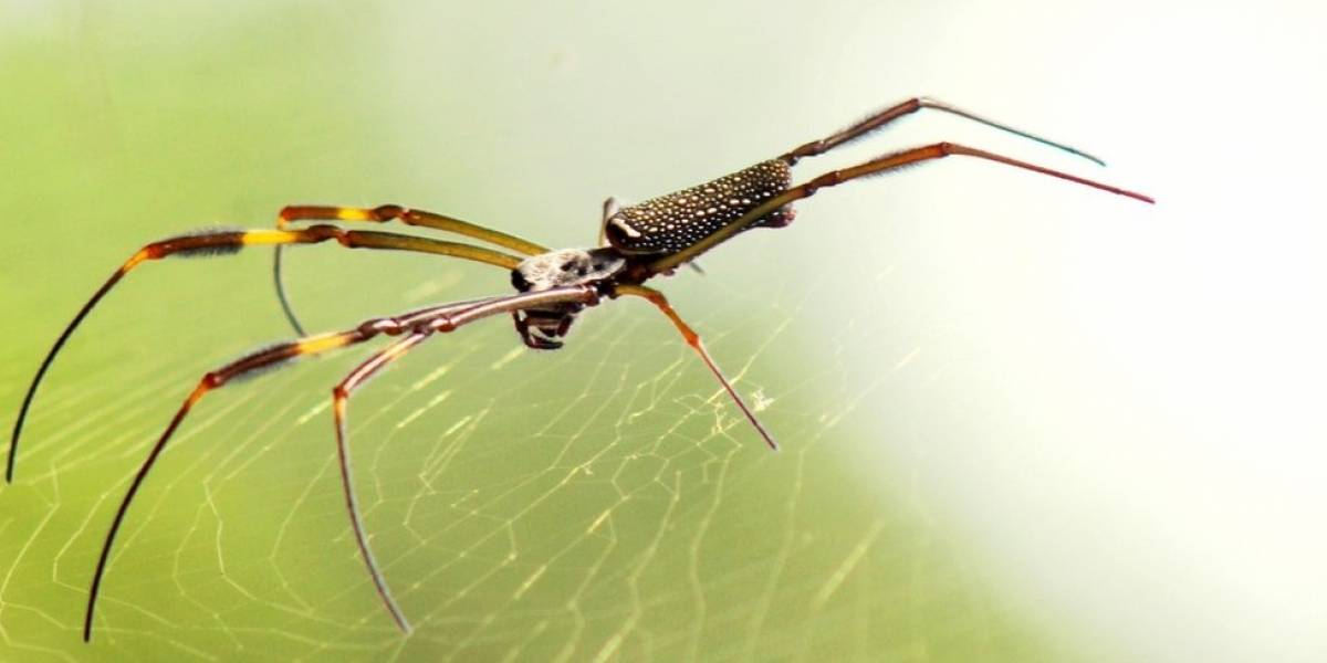 Como o DNA de uma aranha mostra a evolução das florestas brasileiras nos últimos 5 milhões de anos