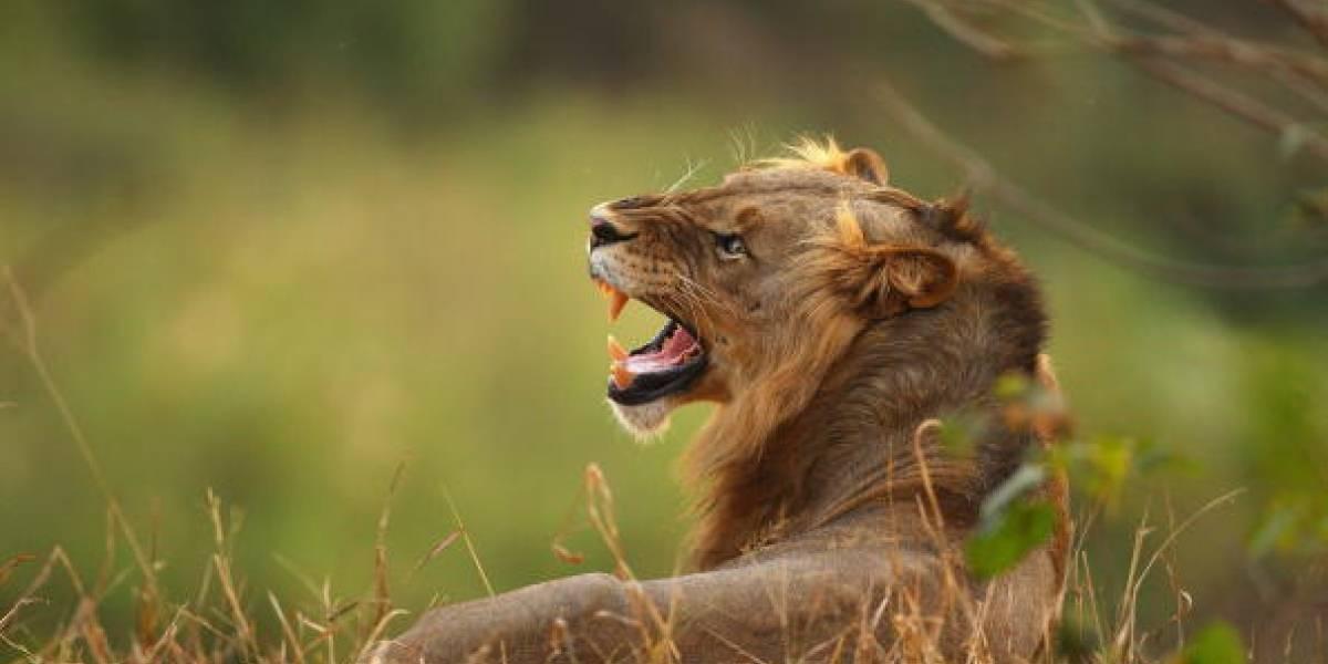 Dois leões, dois tigres, um urso e uma onça escapam de zoológico