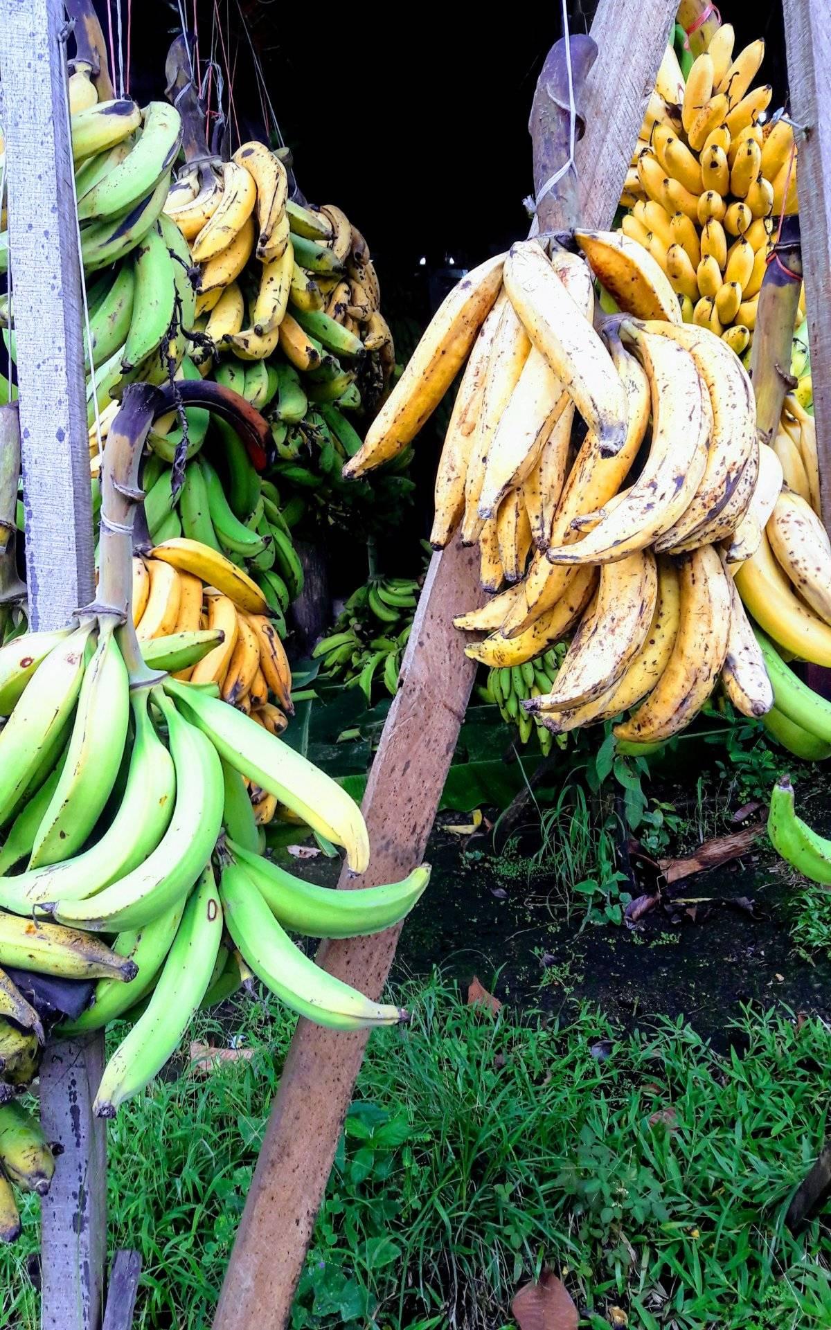 Exportación bananera. Destaca a Costa Rica entre los demás países de Centroamérica. Entre enero y septiembre de 2017 exportaron el equivalente a 784 millones de dólares. Maryelin Reyes