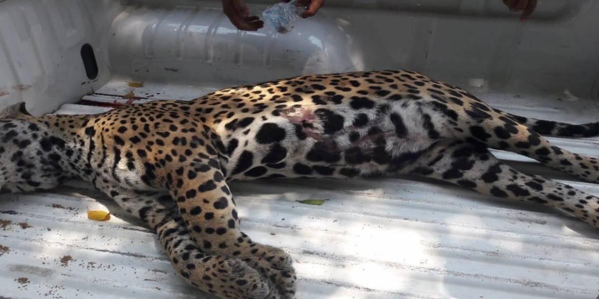 Un Jaguar sale de su hábitat y muere atropellado en carretera de San Blas
