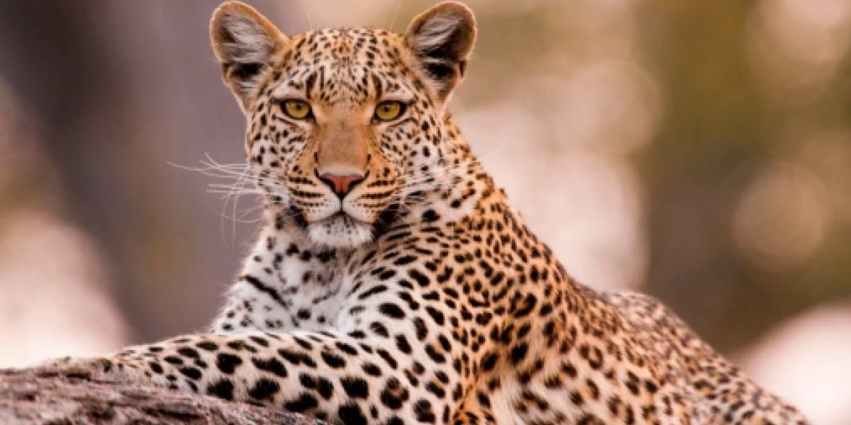 Video: Valiente perra ataca a leopardo para evitar que se lleve a su cachorro en la India
