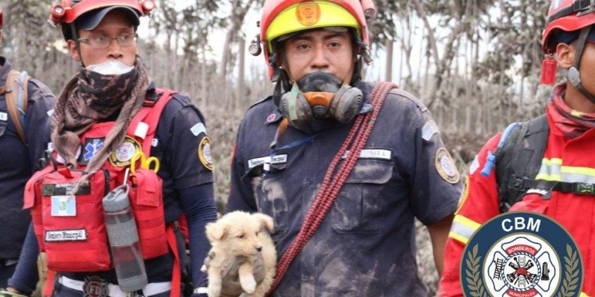 Rescatan a animales que sobrevivieron a la erupción