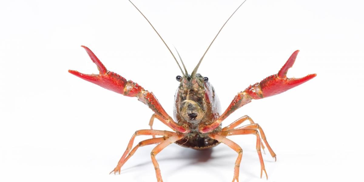 Un cangrejo se convierte en héroe viral al amputarse una tenaza para escapar de una sopa hirviendo