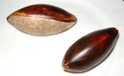 semilla de zapote