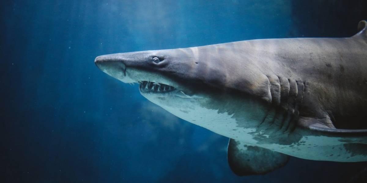 Ataques de tubarão são mais raros do que muitos pensam; saiba como minimizar os riscos