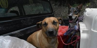 rescatan a animales afectados por erupción del volcán de Fuego