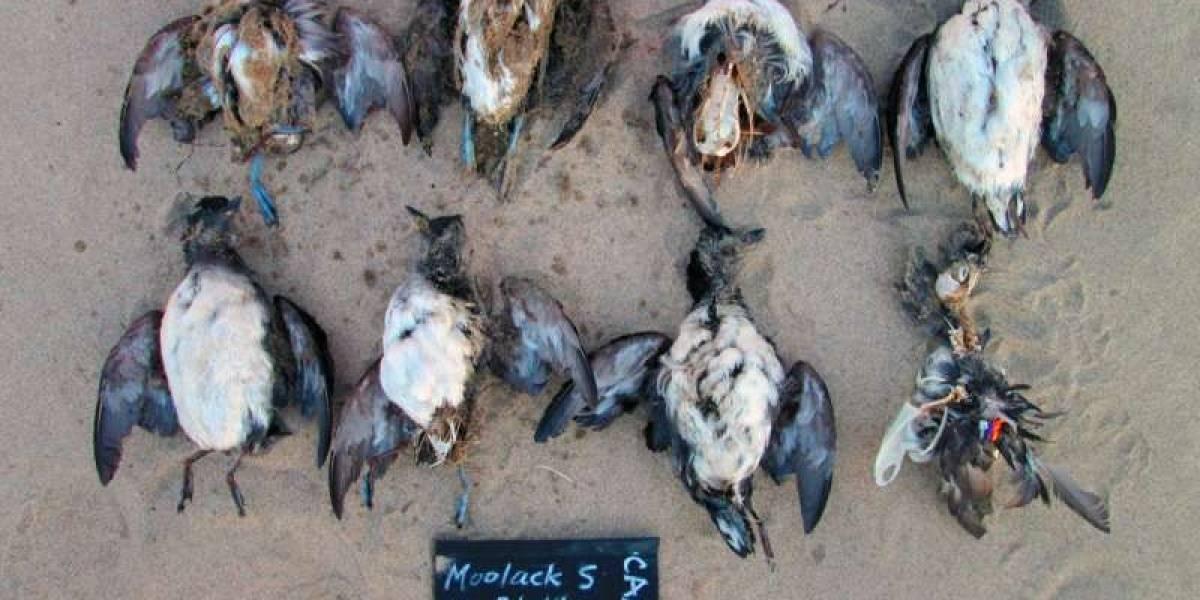 Científicos descubren causa de misteriosa muerte de miles de aves en el Pacífico y el resultado es aterrador: es el inicio de un cataclismo mundial