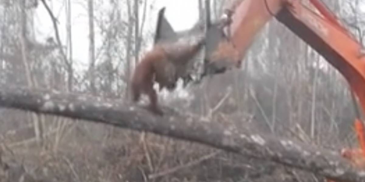 ¿En qué infierno hemos convertido el planeta?: dramática lucha de orangután contra excavadora para defender el árbol dónde vive