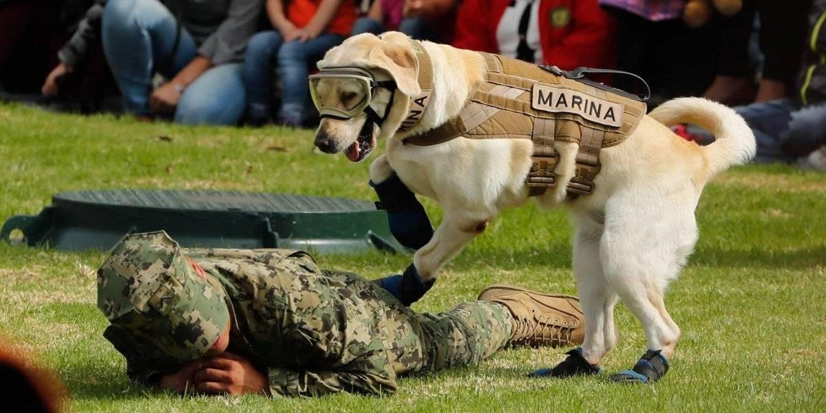 La perrita Frida colaboró en las funciones de rescate durante los terremotos de septiembre Foto: Cuartoscuro