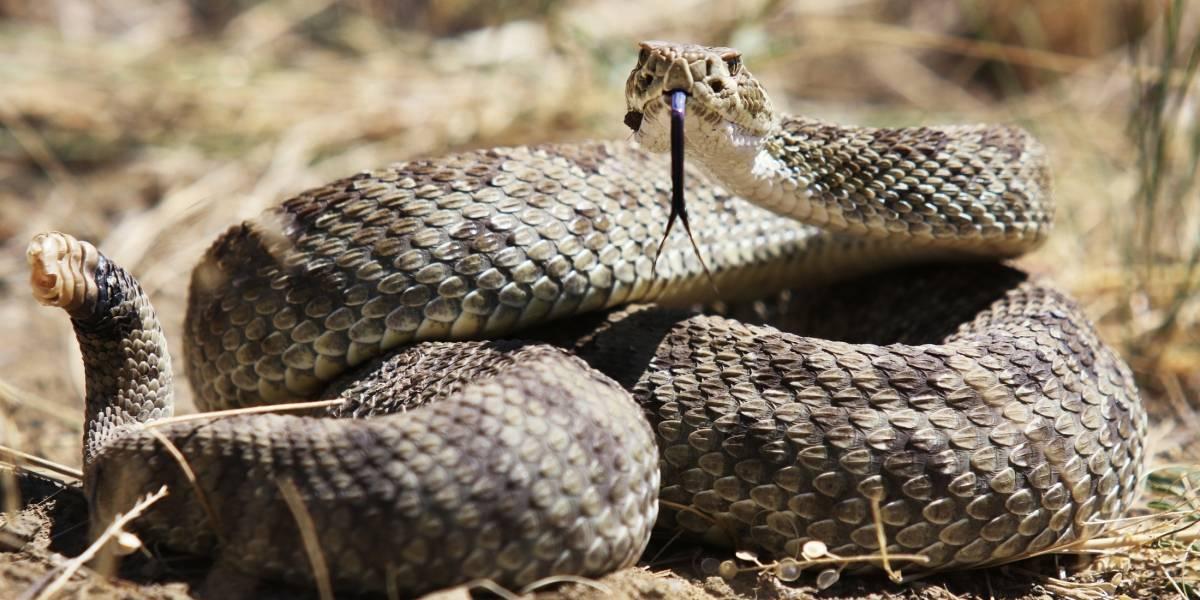Hombre se enfrenta a la muerte tras ser mordido por la cabeza de una serpiente decapitada