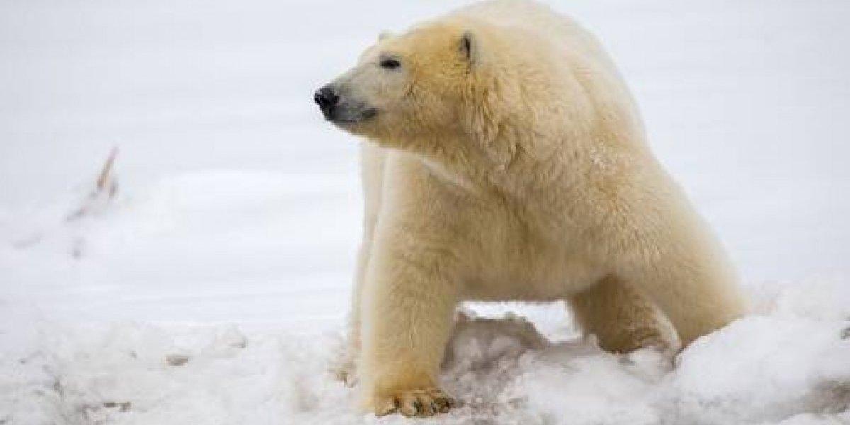 Efecto del deshielo: oso polar mata a hombre en Noruega
