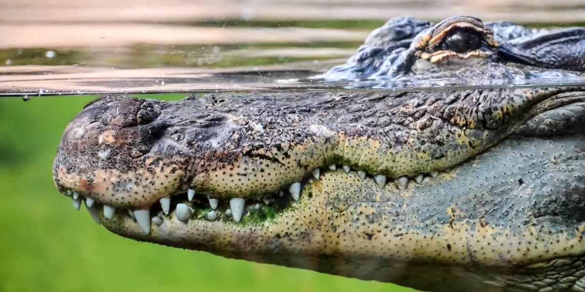 Buscan a mujer que habría sido atacada por caimán en Florida