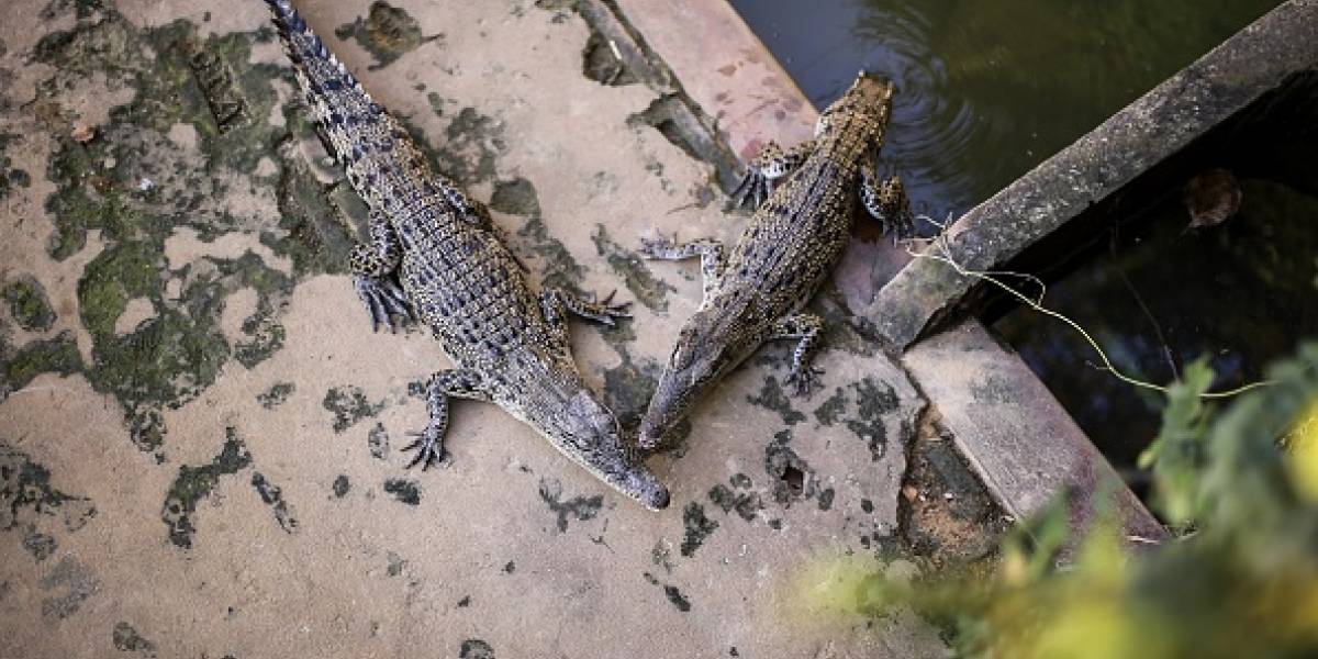 Joven le propuso matrimonio a su novia en un estanque de cocodrilos y casi le cuesta la vida