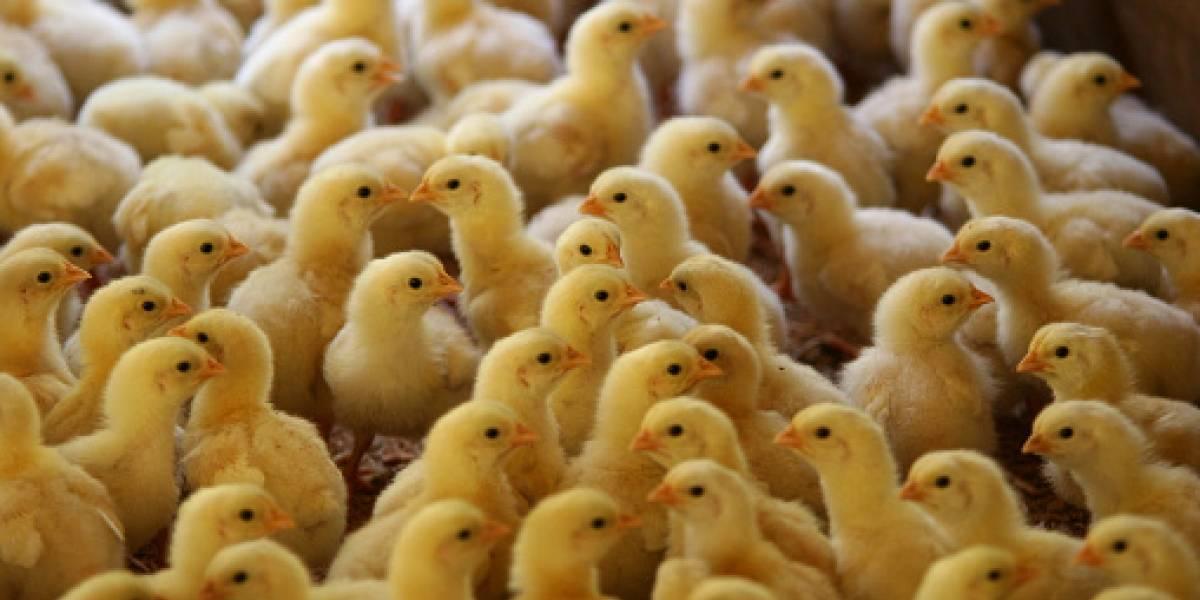 Miles de pollitos nacieron en un basural e invadieron una ciudad — Insólito