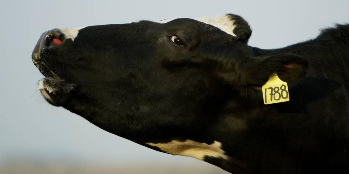Vaca apátrida: Sentencian a muerte a bovino por no tener documentación