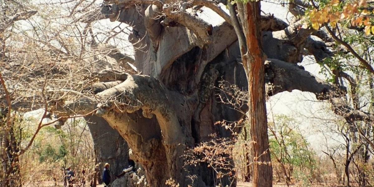 Mortes misteriosas de árvores antigas que são ícones da savana africana intrigam cientistas