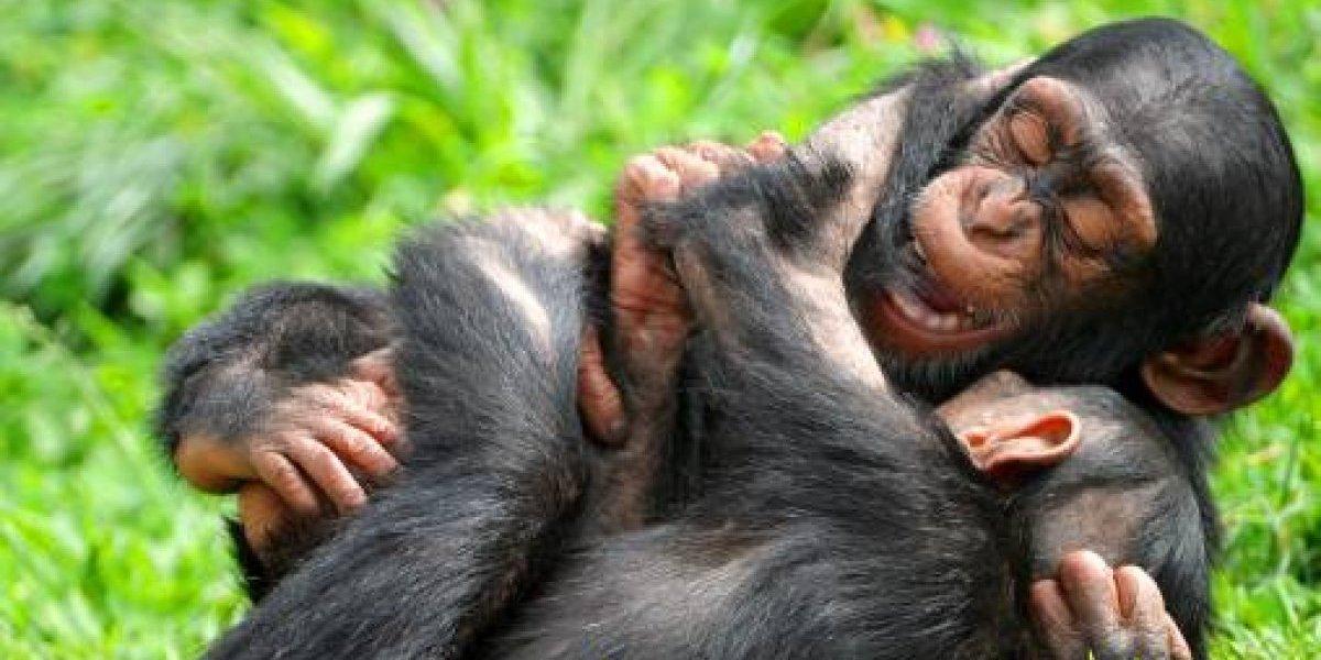 Disfrutaban las gracias del chimpancé pero terminaron horrorizados cuando un patito se metió por error a la jaula