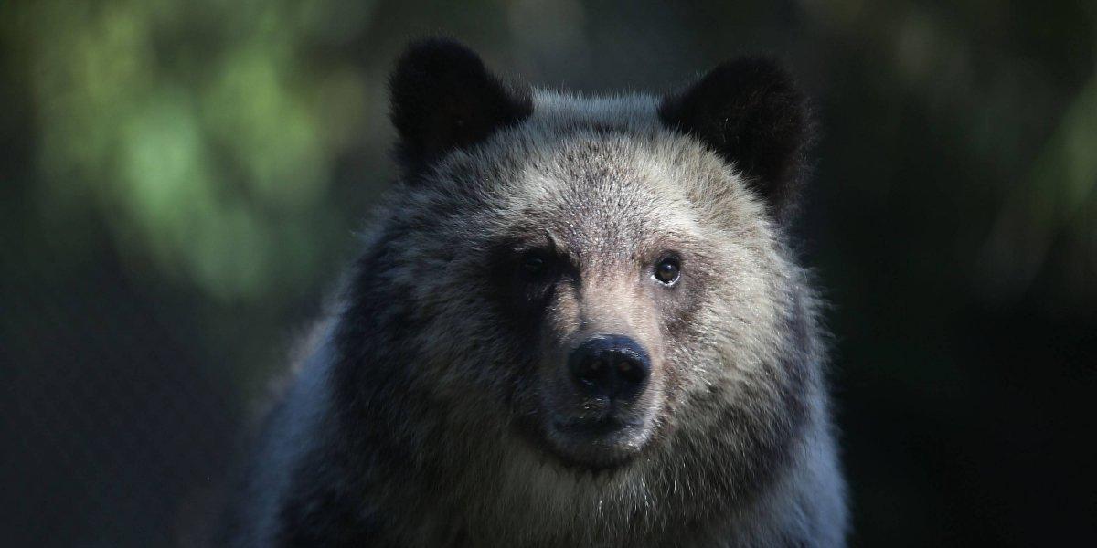 Ruso escapa de un oso que iba a matarlo, pero muere ahogado