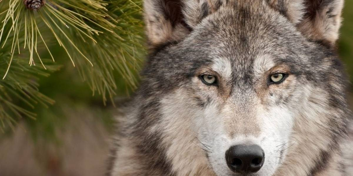 """La UNAM desea desaparecer al """"loboperro"""" para proteger al lobo gris mexicano"""