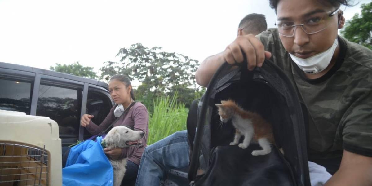 Continúa el rescate de animales en la zona afectada por la erupción