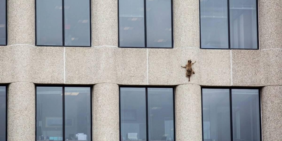 Rescatan a un mapache que trepó un edificio de 25 pisos