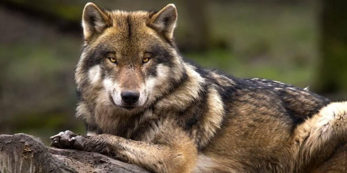 Lobo gris sale de lista de especies en peligro de extinción