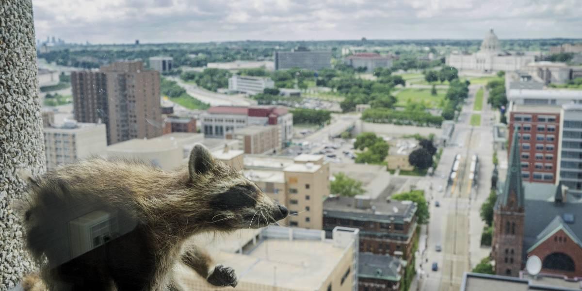 """¿Qué fue del """"mapache escalador"""" que subió un edificio de 25 pisos en Minnesota y  tuvo en vilo a toda la red?"""