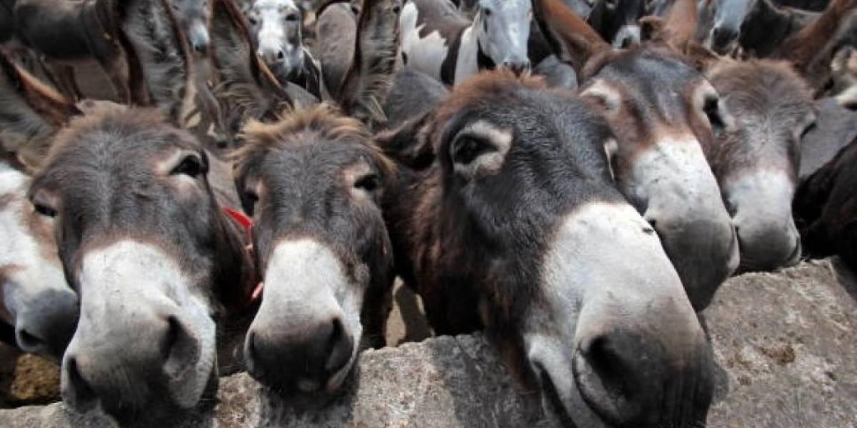Burros del mundo tiemblan: población de asnos africanos se reduce drásticamente por jalea china