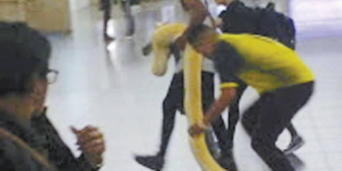 Em São Paulo, cobra píton surge em linha da CPTM