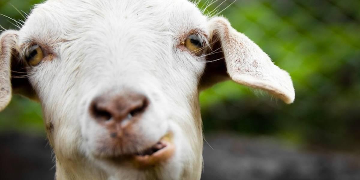 Ciudadano realiza arresto civil a joven por robarle cabras en Camuy