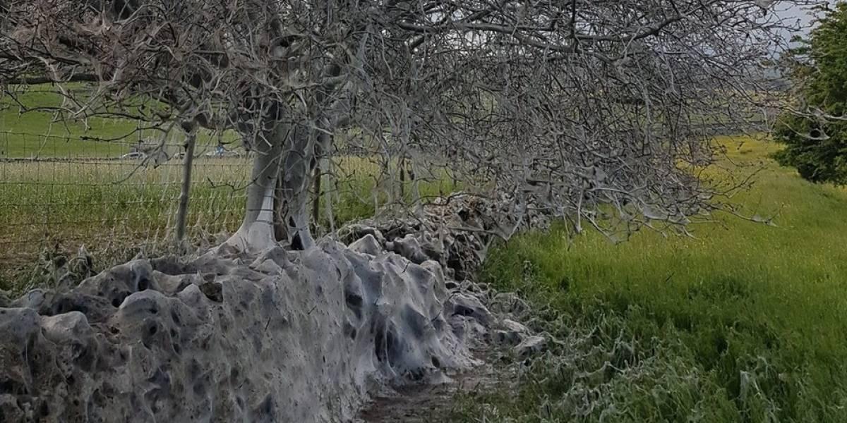 Árvore coberta por teias de lagartas surpreende na Inglaterra