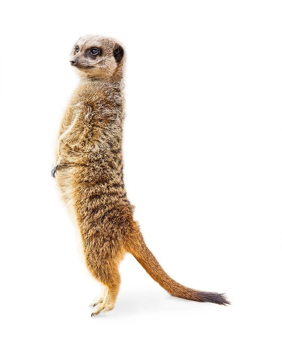 Una suricata y un gato oráculos