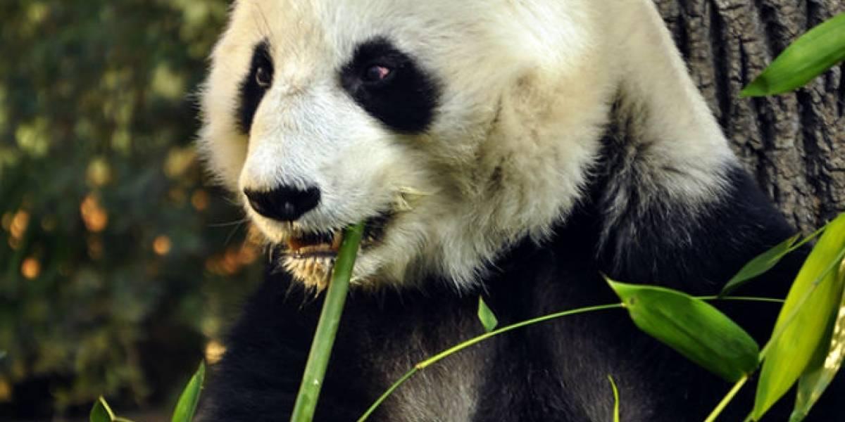 Shuan Shuan, la panda de Chapultepec que cumplió 31 años