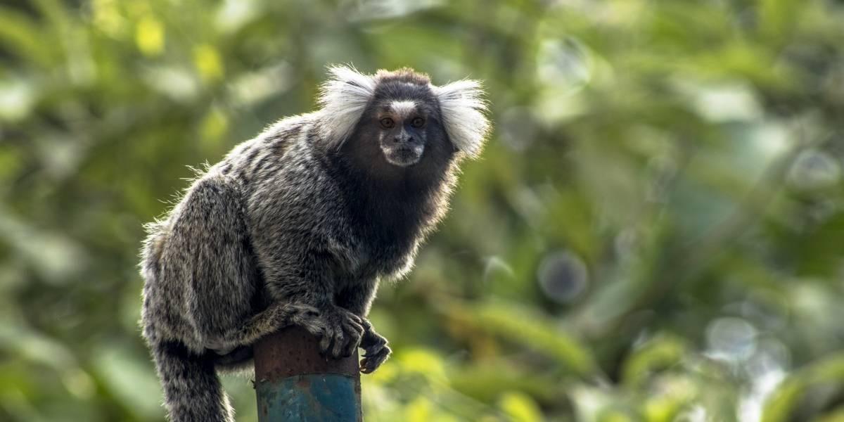 Febre amarela: mais três macacos morrem em diferentes regiões de São Paulo