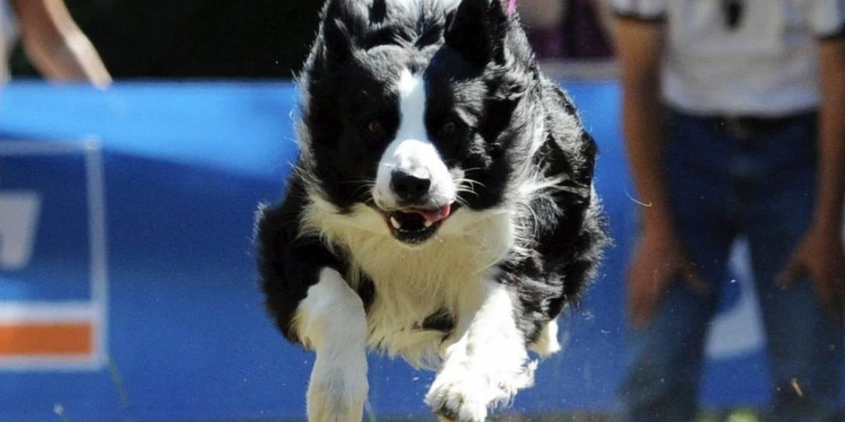 Sepa por qué el Border Collie es el perro más inteligente del mundo