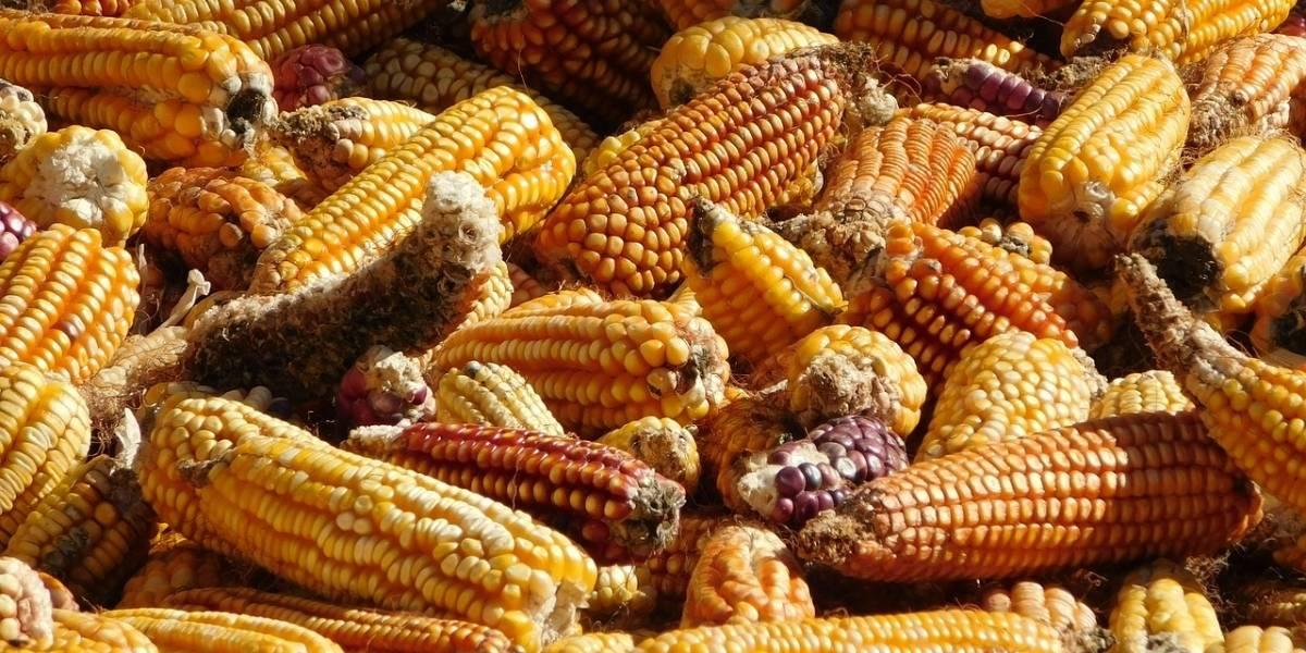 México: El maíz transgénico se infiltró en el país, y el gobierno no hace nada para identificarlo