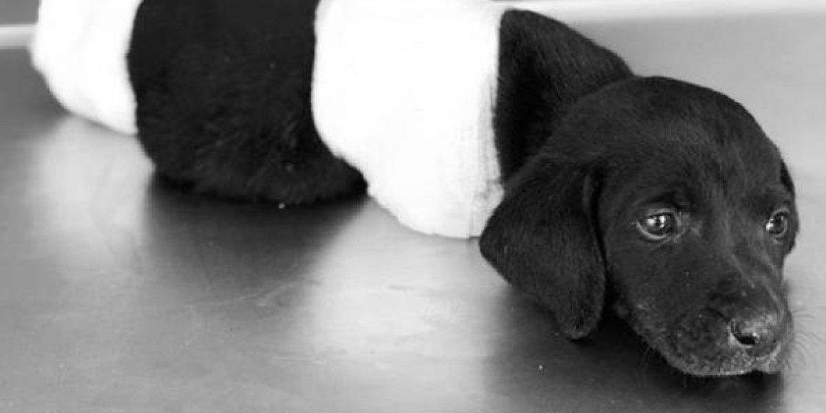 Indignación nacional en Turquía contra sujeto que le cortó las cuatro patas y la cola a un cachorro y lo tiró en un bosque creyendo que estaba muerto