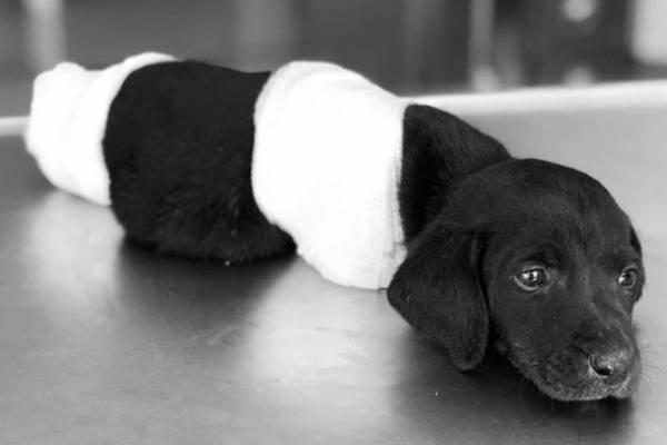 perro mutilado