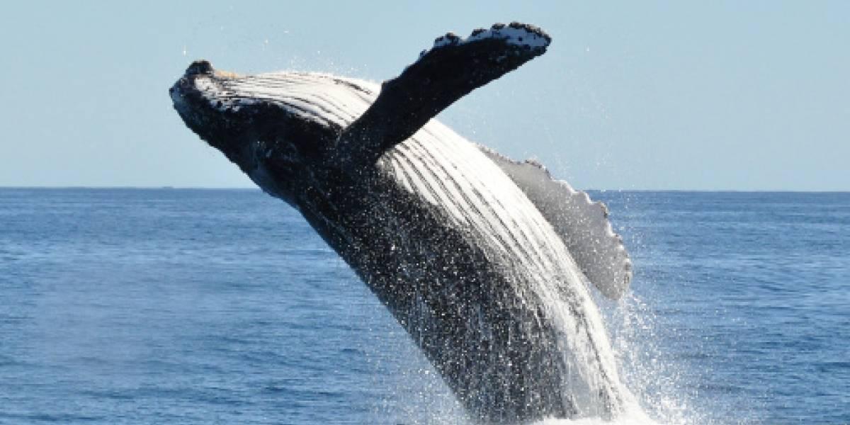 Inicia temporada de avistamiento de ballenas jorobadas en Ecuador