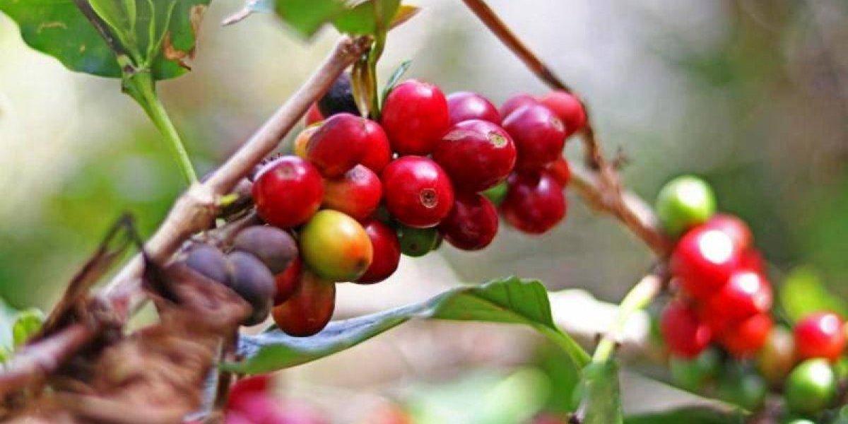Acuerdo Agricultura y Starbucks Foundation para importar semillas de café