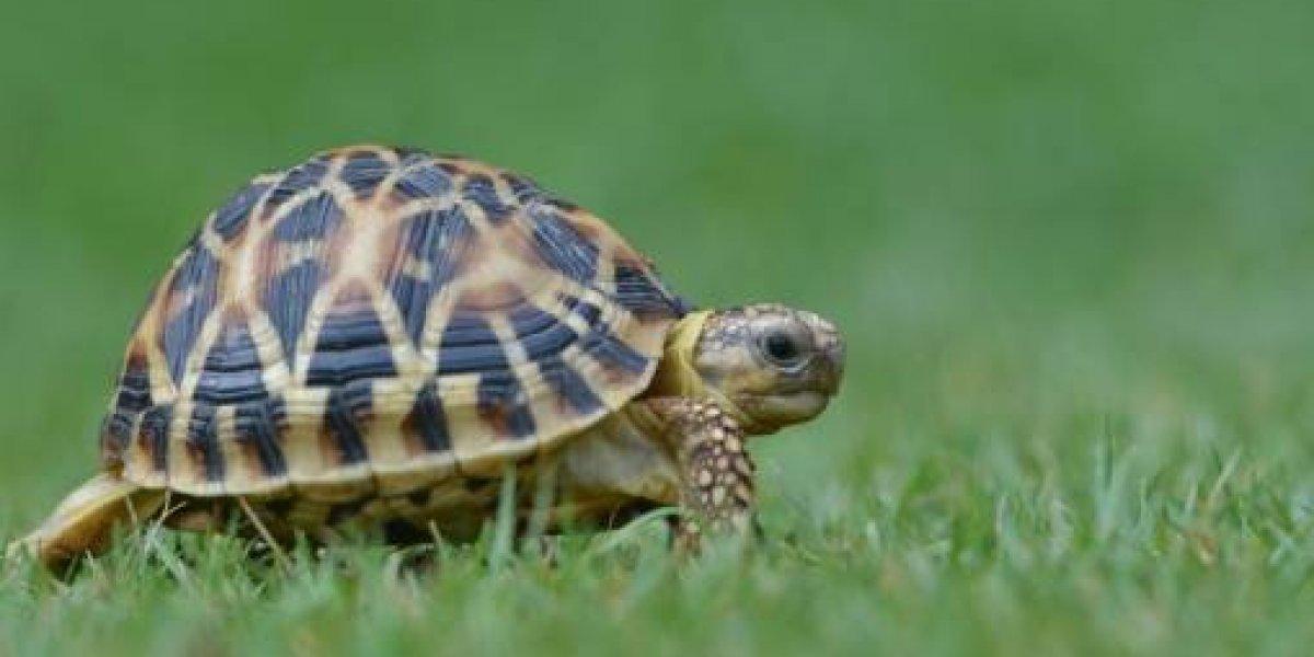 """Escape """"a toda velocidad"""": tortuga de más de 100 años estuvo una semana perdida y la encontraron a menos de un kilómetro de su casa"""
