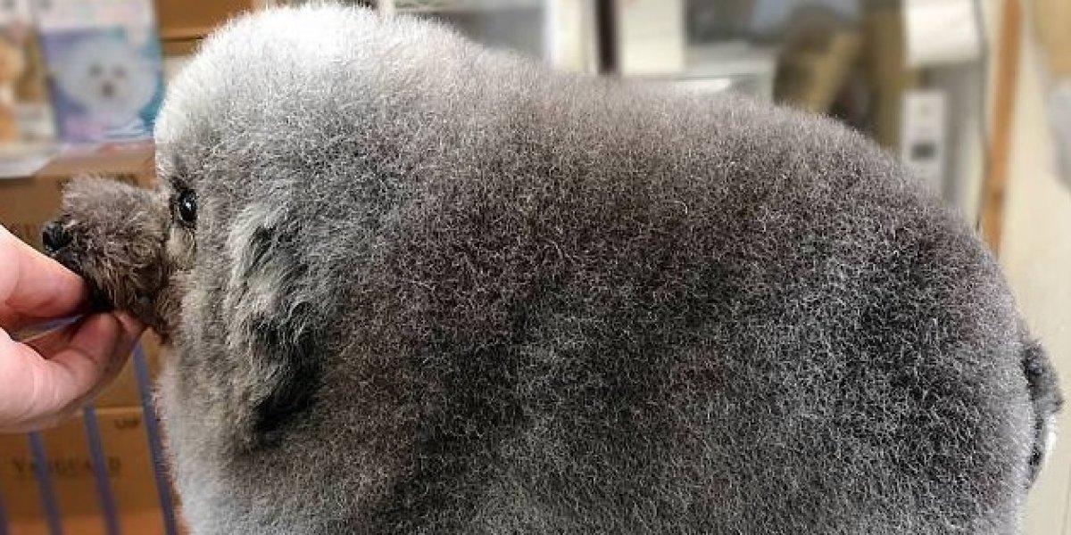 """La """"bola de pelos """" que la rompe en Instagram: tierno perrito fue a la peluquería y se convirtió en estrella gracias a su épico look"""