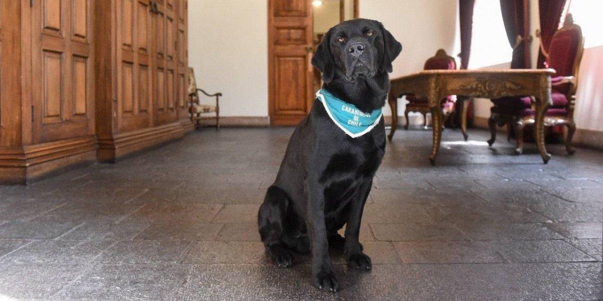 Este es Curi: el perrito que protege a La Moneda de explosivos