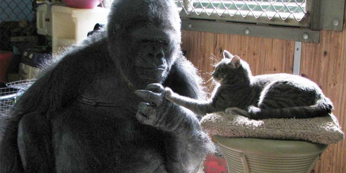 VIDEO. Murió Koko, la famosa gorila californiana que hablaba el lenguaje de signos