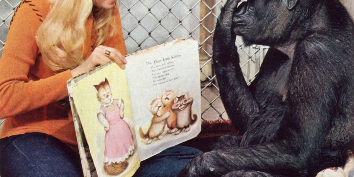 Muere Koko, la gorila que sabía lenguaje de señas